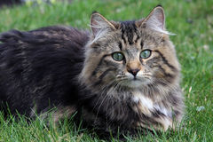 A pretty Norwegian cat. Graze in the green one Royalty Free Stock Image