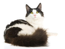 Pretty Norwegian Forest Cat on white background. Show champion black and white Norwegian Forest Cat, on white background stock image