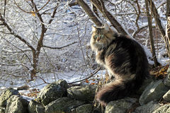 A pretty Norwegian Forest Cat. In the winter stock images