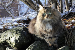 A pretty Norwegian Forest Cat. In the winter stock photography