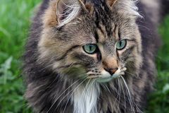A pretty Norwegian Forest Cat Royalty Free Stock Images