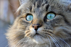 A pretty Norwegian Forest Cat. A pretty Young Norwegian Forest Cat with green eyes Stock Photos