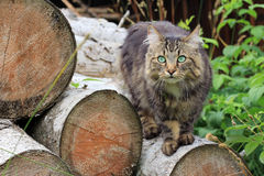 A pretty Norwegian Forest Cat. A pretty Young Norwegian Forest Cat with green eyes stock images