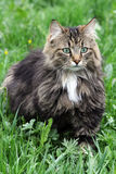 A pretty Norwegian Forest Cat Royalty Free Stock Photos