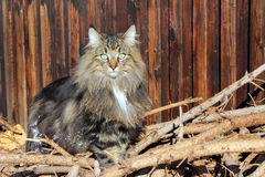 A pretty Norwegian Forest Cat Royalty Free Stock Photography