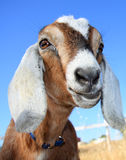 Pretty Nubian Goat. Close up of a cute, young nubian goat against a very blue sky Royalty Free Stock Images