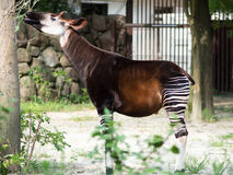 Pretty Okapi Forest Giraffe Royalty Free Stock Images