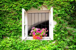 Pretty old window with flowers in the ivy-covered. Closeup view of pretty old window with purple flowers in the ivy-covered wall Royalty Free Stock Photography