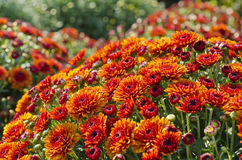 Pretty Orange Chrysanthemums Royalty Free Stock Image