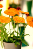 Pretty orange flat dahlia Stock Image