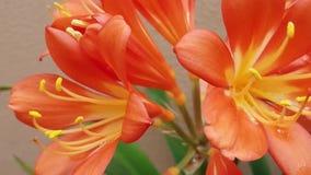 Pretty orange flowers with yellow stamens. stock video