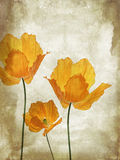 Pretty, orange, poppies grungy background Royalty Free Stock Photo