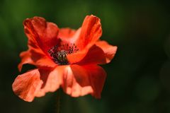 Pretty Orange Poppy Flower in the wind on a green spring meadow. royalty free stock image
