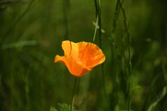 Pretty Orange Poppy. A single orange poppy growing with a lush green background Stock Images