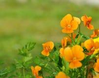 Pretty orange viola Stock Image