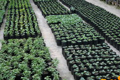Pretty ornamental plants being cultivated in flowerpots in a hothouse at a nursery or  farm for retail as house or garden plants Stock Photos