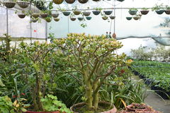 Pretty ornamental plants being cultivated in flowerpots in a hothouse at a nursery or  farm for retail as house or garden plants Stock Image