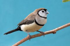 Pretty Owl Finch from Australia Royalty Free Stock Photography