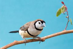 Pretty Owl Finch from Australia Stock Photography