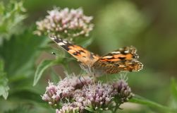 A beautiful Painted Lady Butterfly Vanessa cardui nectaring on a pink flower. Stock Image