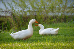 Pretty Pair of Geese Stock Photography
