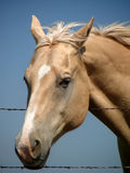 Pretty Palamino. Close-up view of pretty golden palomino horse with white blaze extending from forehead to nostril Royalty Free Stock Photos