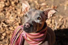 Pretty pale dog in bright stripped scarf on the autumn/fall background. royalty free stock photography