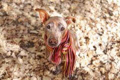 Pretty pale dog in bright stripped scarf on the autumn/fall background. Pretty pale hairless dog in bright stripped scarf on the autumn/fall background royalty free stock photo