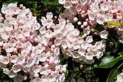 Mountain Laurel Blooming in the Spring. Pretty pale pink Mountain Laurel blooming in the North Carolina mountains in the spring royalty free stock image