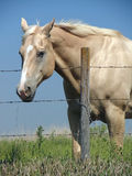 Pretty Palomino. Pretty golden palomino horse with white blaze extending from forehead to nostril grazing in pasture on bright summer day stock image