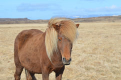 Pretty Palomino Horse Stock Images