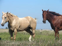 Pretty Palomino and Sorrel. Pretty golden palomino and sorrel horses grazing in pasture on bright summer day stock photos