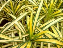 Pandan. Tropical plants garden Royalty Free Stock Photos