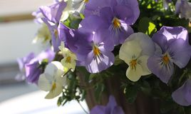 Pretty pansies royalty free stock photography