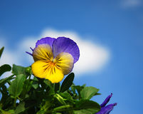 Pretty Pansy. Purple and yellow pansy against a sunny sky with clouds Royalty Free Stock Image