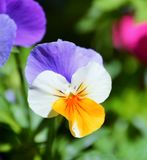 Pretty Pansy Stock Images