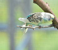 Pretty Pastel Colored Budgie Bird Perched on a Branch Stock Images