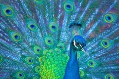 Pretty Peacock Royalty Free Stock Photos