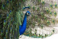 Pretty peacock with erect feathers in side view. Shot taken in spring / summer, portrait of a peackock in blue, green, turquoise, orange and yellow stock photography