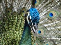 Pretty Peacock stock photography