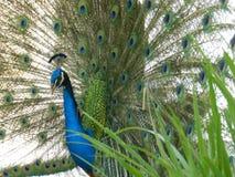 Pretty peacock stock image