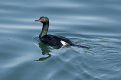 Pretty Pelagic Cormorant. Royalty Free Stock Photos