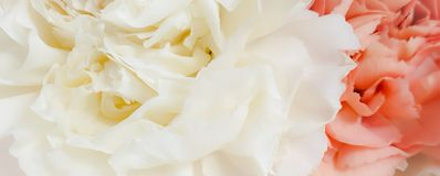 Pretty peony petal flowers background. Wallpaper royalty free stock image