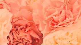 Pretty peony petal flowers background. Wallpaper stock photography