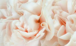 Pretty peony petal flowers background. Wallpaper royalty free stock photo
