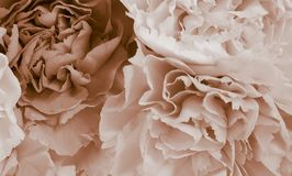 Pretty peony petal flowers background. Wallpaper stock photos