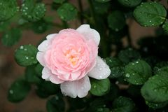 Bright pink petals of rose covered in dew and tucked into green leaves and grass of garden. Pretty petals on bright pink petals of fragrant roses tucked into royalty free stock images