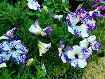 Pretty petunias photographed in Bloemfontein, South Africa