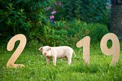 Pretty pig symbol of new 2019 year standing near wooden numerals. stock photos