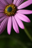 Pretty in pink. A pink flower royalty free stock image